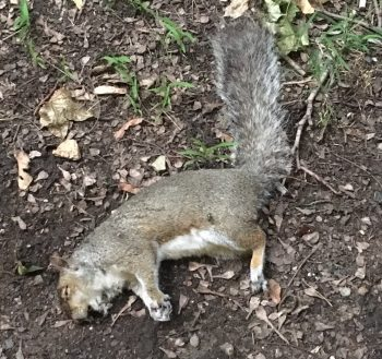 One of the squirrel found dead